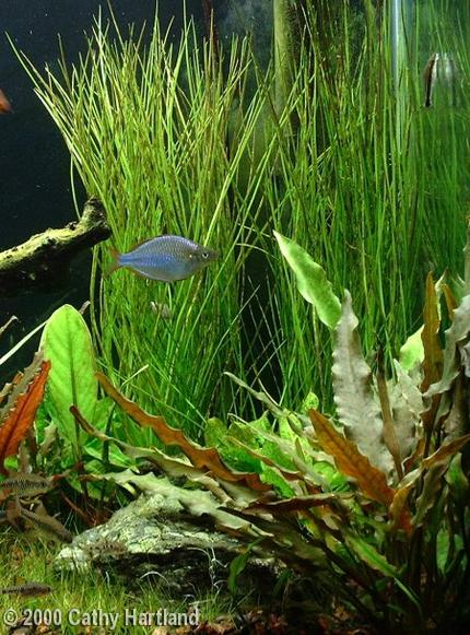 Rainbowfish 40 gal