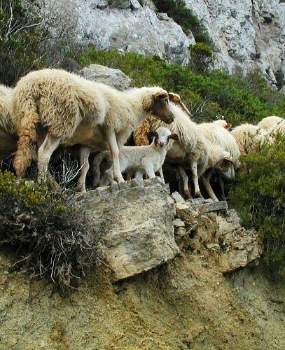 sicily goats